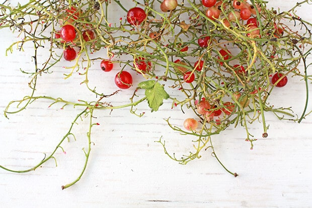 Red currants come on long whispy branches, also known as gooseberries